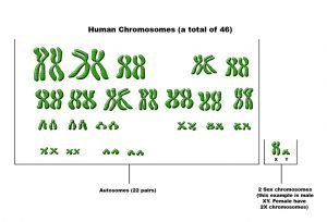 What is the difference between autosomes and sex chromosomes?