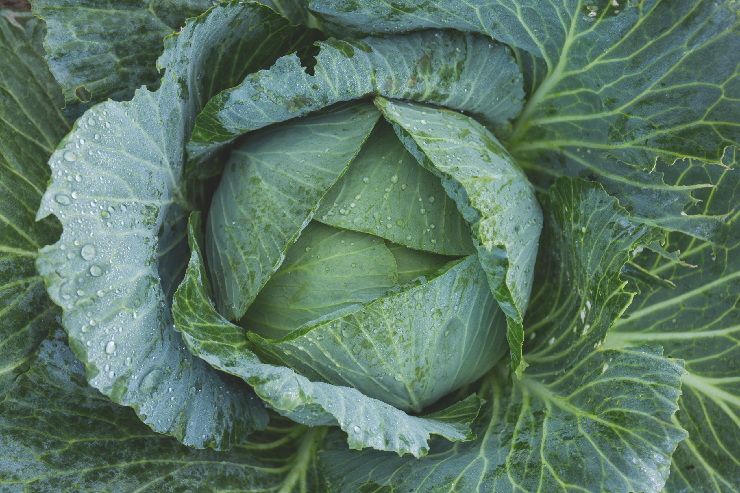 how much dna do humans share with cabbage