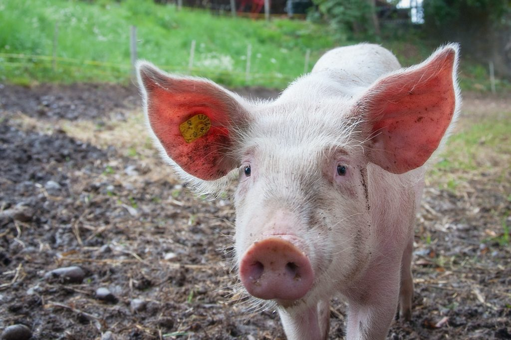 how much dna do humans share with pigs