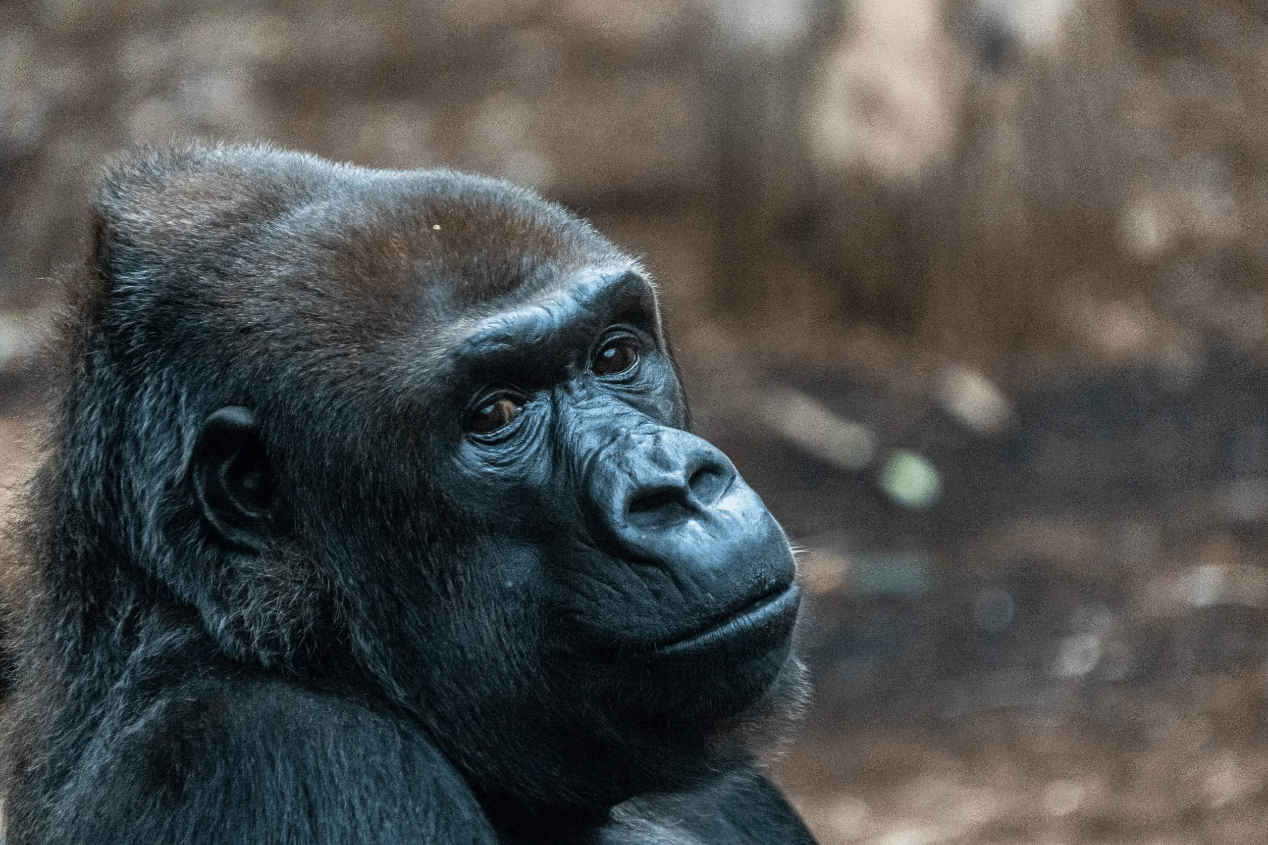 how much dna do we share with gorillas