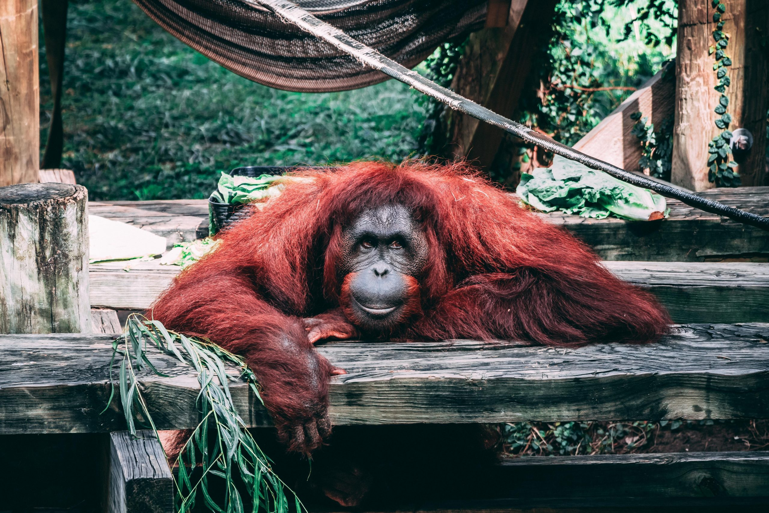 how much dna do we share with orangutans